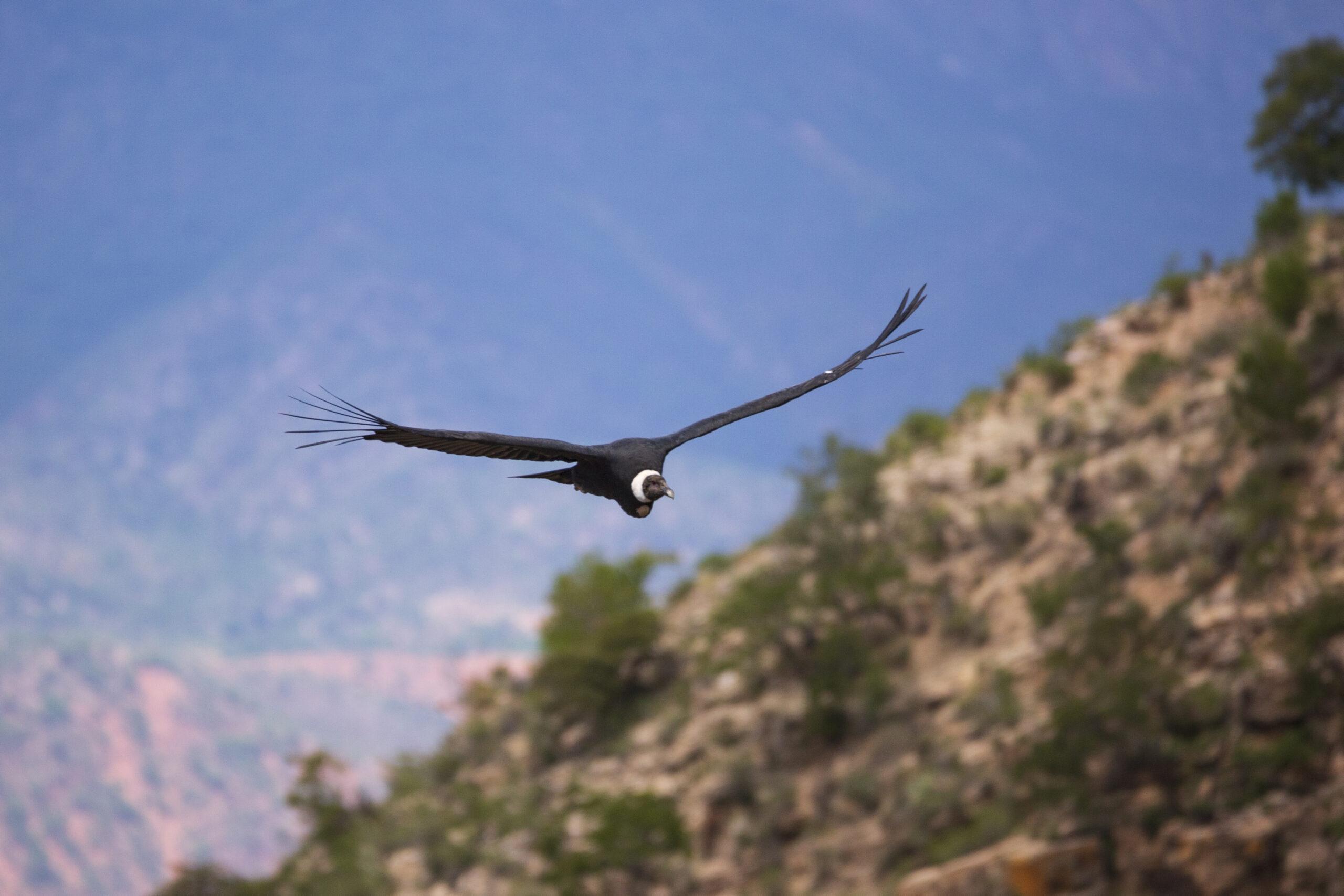El cóndor: en peligro un ave dominante de la carroña y de lenta reproducción